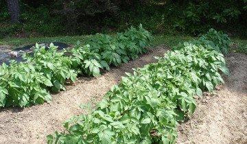 Посаженный картофель, bonnieplants.com