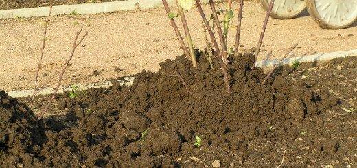 Фотография окучвания роз на зиму, rozarii.info