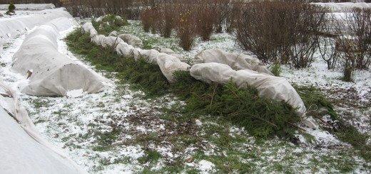 На фото укрытие роз на зиму, rozarii.info