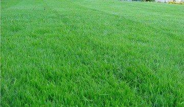 Молодой партерный газон