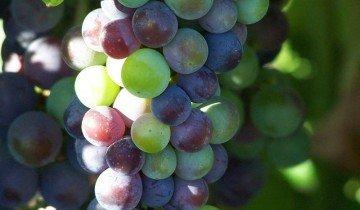 Виноград на ветке, eat-american.com