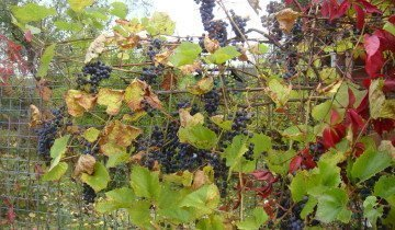 Сухие листья у винограда, popgun.ru