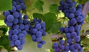 Спелый виноград, rawdiet.com