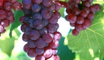 Сочный виноград, foodqualitynews.com