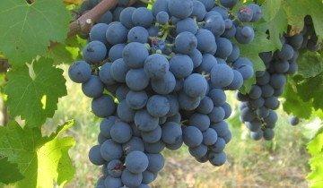 Крупный виноград, nasze-wina.pl