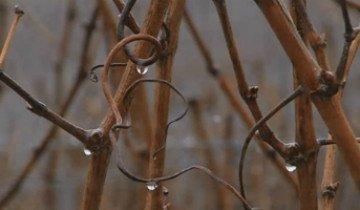 Подрезка винограда весной – советы по формированию кустов от опытных садоводов