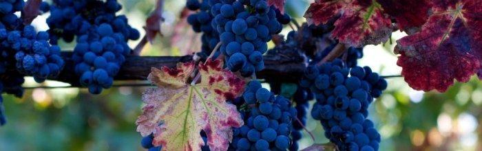 Подрезка винограда, internetsimply.ru