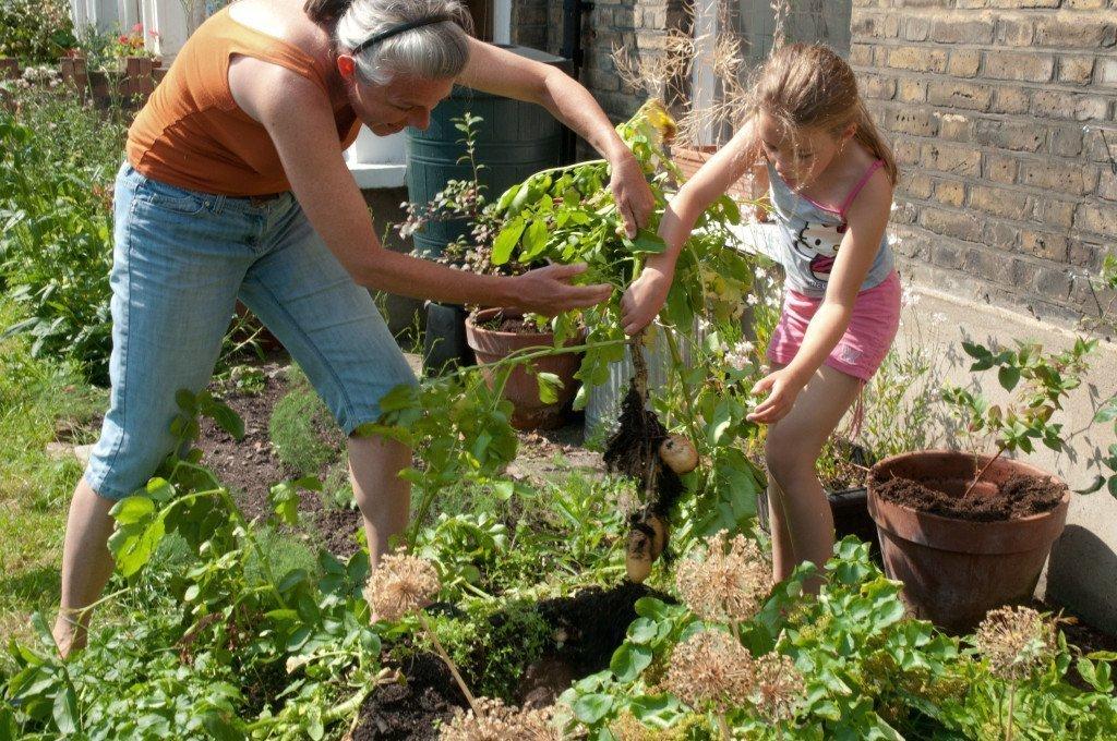 Выращивание картофеля с нуля 50