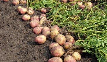 Большй урожай картофеля, cdn.phys.org