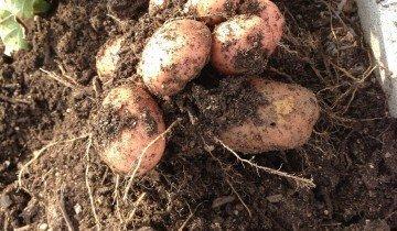 Здоровый урожай картофеля, redwheelbarrowplants.wordpress.com