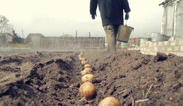 Как посадить картофель по Митлайдеру, board.lutsk.ua
