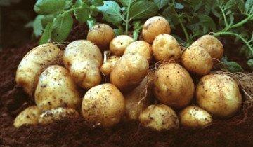 Посадка картофеля по Митлайдеру — полцентнера с сотки