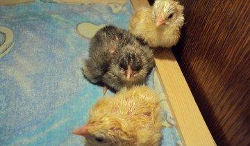 Расклев у цыплят, fermer.ru