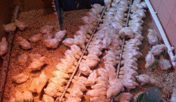 Полностью оперившиеся цыплята, moyatepliza.ru