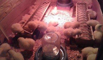 Цыплята в «домике», fermer.ru