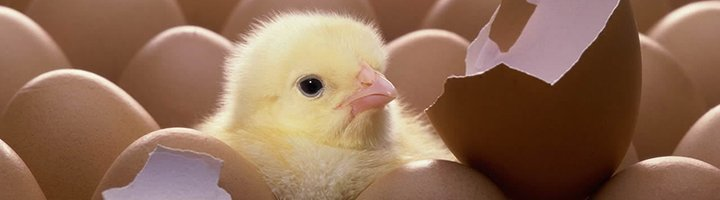 Цыпленок бройлера, s00.yaplakal.com