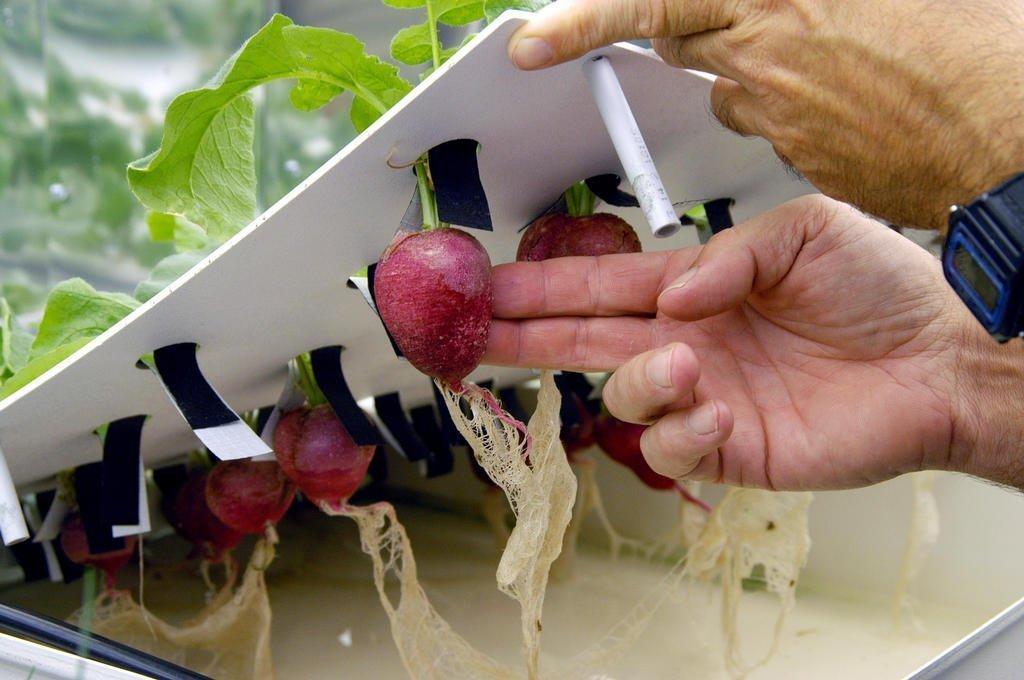 помидоры выращивание на подоконнике