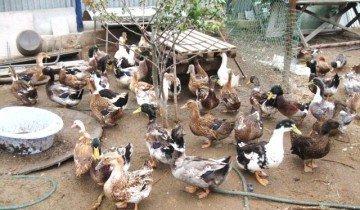 Селезень и утка – особенности выращивания и повышение продуктивности
