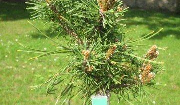 Сосна горная Pinus mugo Fructata, flower.onego.ru