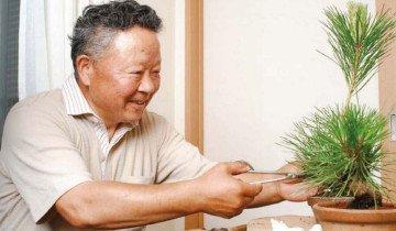 Обрезка сосны, bonsai-club.com