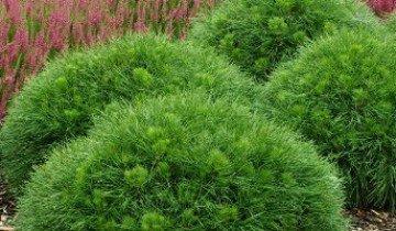 Вечнозеленая горная сосна и… вечно растущая
