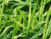 Газонная трава, картинки.сс