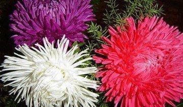 Астры разных цветов, oxun.ge