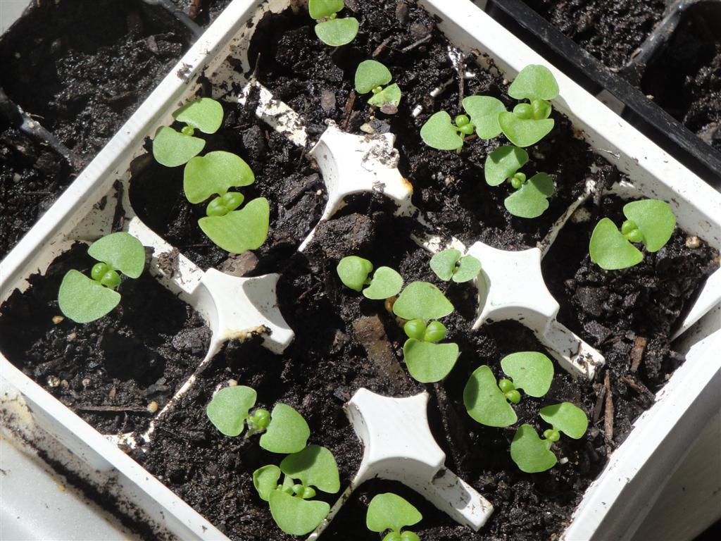 Как вырастить дома базилик