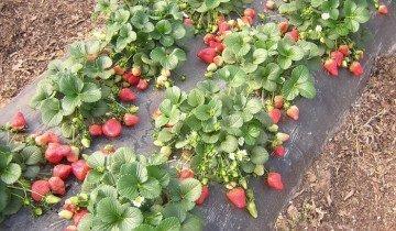 Выращивание клубники в закрытом грунте, fermer.ru
