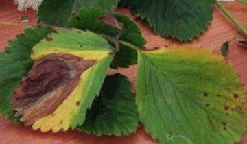 Бурая пятнистость на клубнике, strawberryplants.org