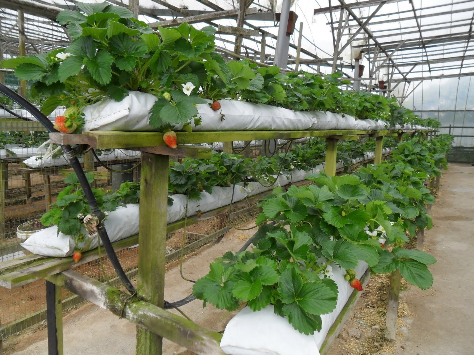 Выращивание клубники-фото 84