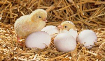 Вылупливающиеся цыплята, fnips.ru