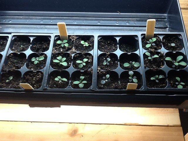 Ампельная петуния выращивание из семян в домашних условиях пошагово в