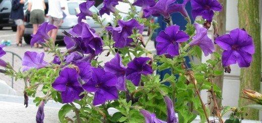 Красивые синии петунии, wikimedia.org