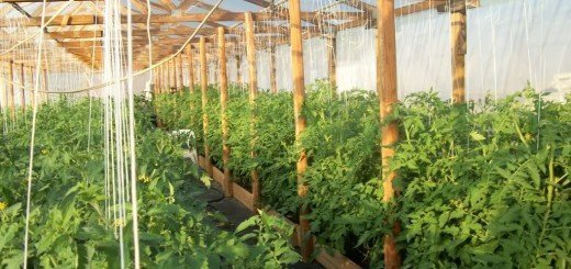 Выращиваем помидоры для здоровья, photobucket.com