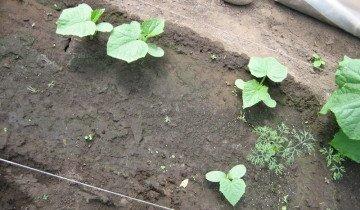 Выращиваем огурцы правильно, legom.ru