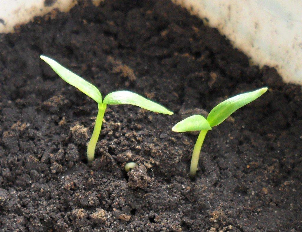 путевки обычно семена проросли но высаживать рано удивлена