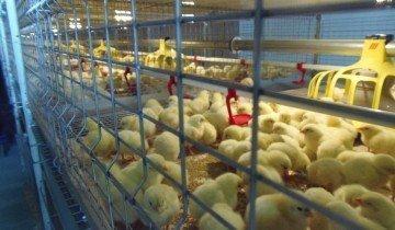 Содержание цыплят в клетке