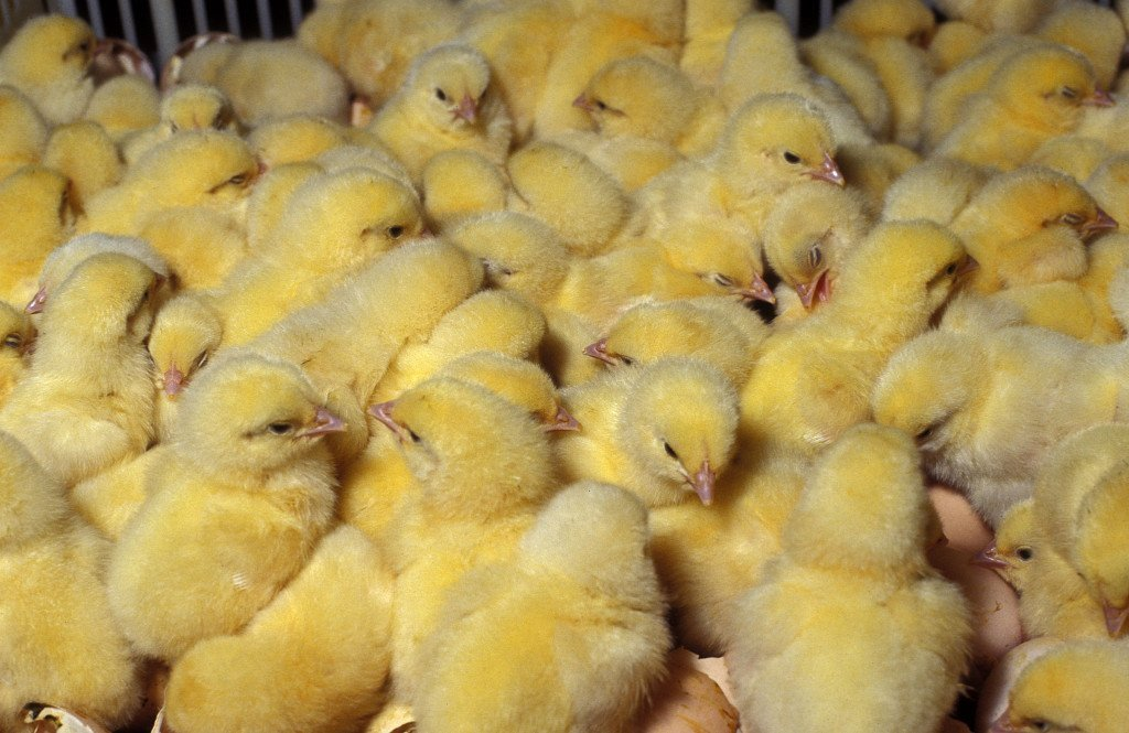 Цыплята бройлеры выращивание в домашних условиях