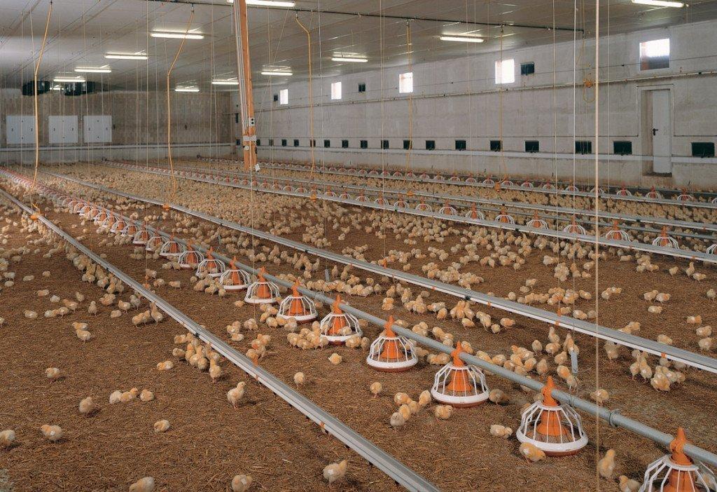 Олвин, Технология выращивания суточных цыплят несушки в промышленных масштабах всю жизнь