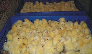 Освещение в загоне для цыплят