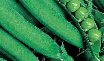 Горох овощной ( Pisum sativum L. ), сорт Динга