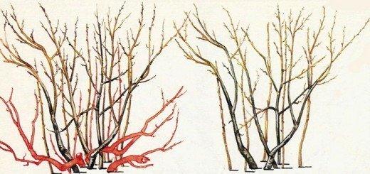 На фото - схема обрезки малины