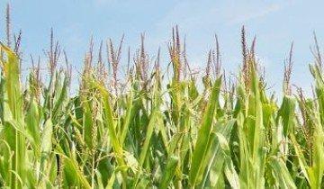 Норма высева кукурузы при эффективном огородничестве