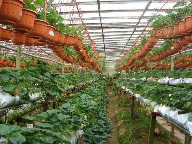 Выращивание клубники по голландской технологии - полезные советы