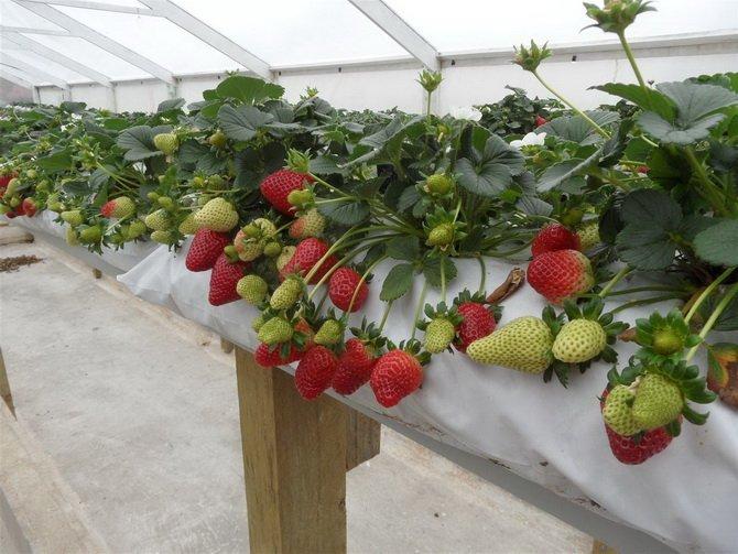 Выращивание клубники по голландской системе 59