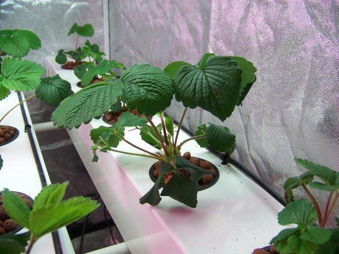 Выращивание клубники в мешках как наш ответ голландской техн.