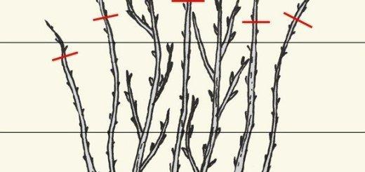 Схема обрезки малины