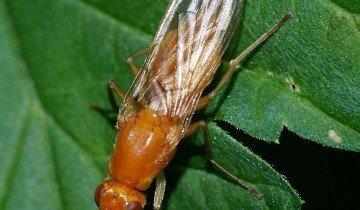 На фото морковная муха, macroid.ru
