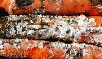Фото белой гнили моркови, hozvo.ru